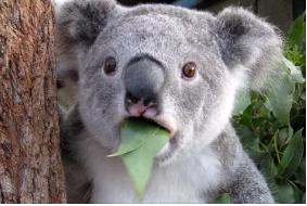 коала.PNG