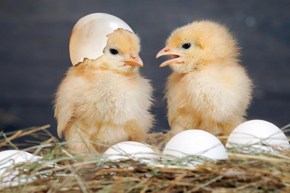 вылупившейся цыпленок картинки речь последней только