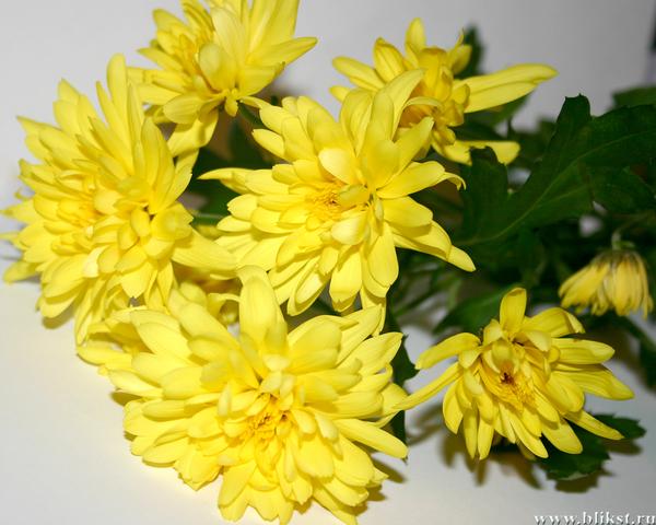 желтые_хризантемы_3.jpg